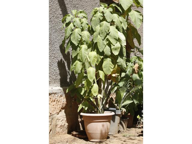 Belhambra Tree